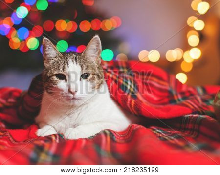 Cat under a christmas tree. Pet at home under plaid