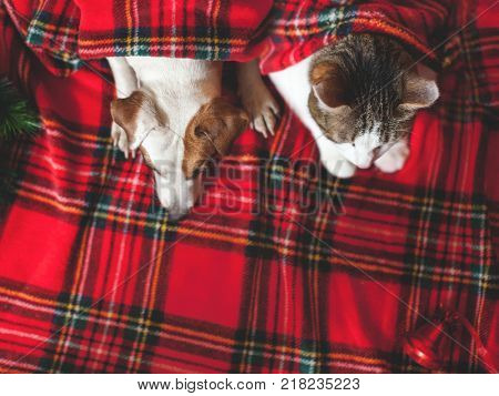 Cat and dog under red plaid. Pets