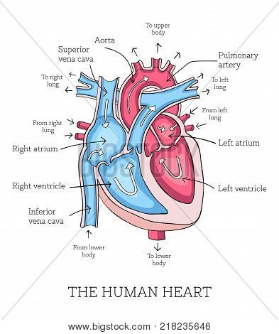 Hand drawn illustration of  human heart anatomy. Educational diagram showing blood flow with main parts labeled. Vector illustration easy to edit