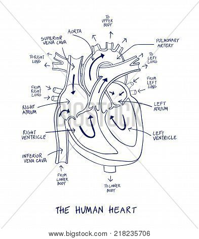 Sketch Human Heart Vector Photo Free Trial