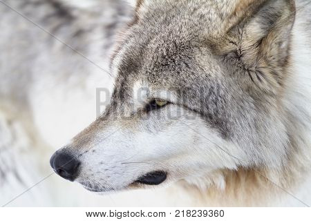 Timber wolf (Canis lupus) closeup in the winter snow