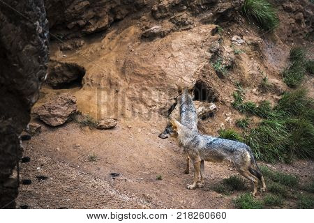 Iberian wolf couple watching over their territory