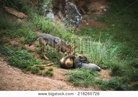 group of Iberian wolves playing happy and carefree