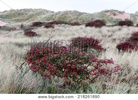 The red bushes of the foreshore with sand dunes in Formby