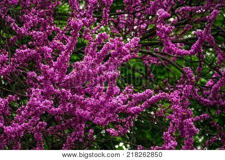 Beautiful springtime closeup background. Judas tree blossom