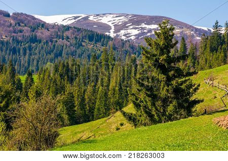 spruce trees on grassy hillside. beautiful springtime scenery in mountains with snowy tops