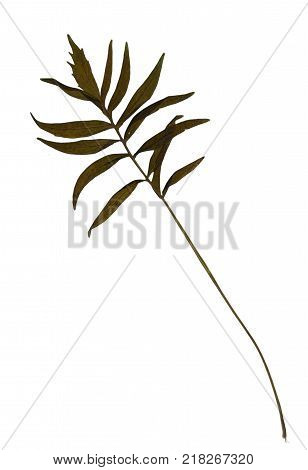 Pressed and dried leaves of Valerian (Valeriana officinalis) isolated on white background for use in scrapbooking floristry (oshibana) or herbarium