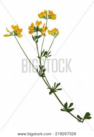 Pressed and dried flowers of medick (Medicago littoralis) on stem with leaves isolated on white background for use in scrapbooking floristry (oshibana) or herbarium