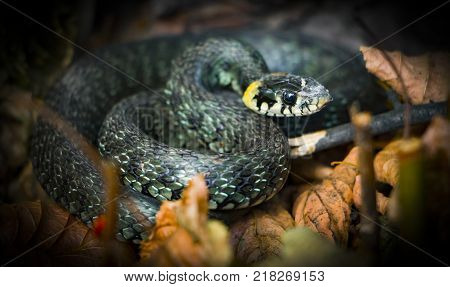 Grass snake, natrix. close up A useful reptile, a forest sanator, feeds mainly pests.