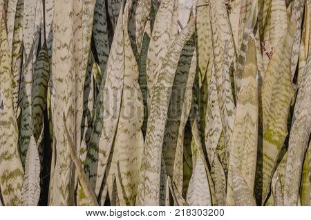 Sansevieria trifasciata, or viper's bowstring hemp, snake plant, mother-in-law's tongue or Saint George's sword, houseplant in closeup view