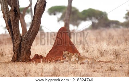 Lion pride resting by termite hill (scientific name: Panthera leo, or