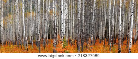 Panoramic view of Aspen trees in autumn time