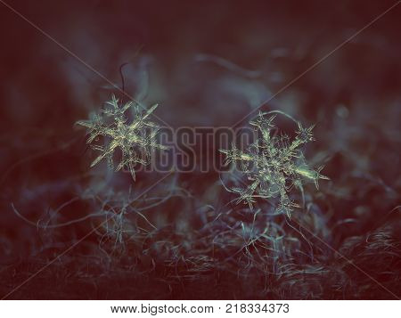 Two snowflakes glowing on dark textured background. Macro photo of real snow crystals: large stellar dendrites with complex, elegant shapes, thin, transparent surface and long ornate arms.