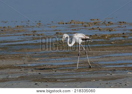 The greater flamingo Phoenicopterus roseus is the most widespread species of the flamingo family. It is found in Africa on the Indian subcontinent in the Middle East and southern Europe