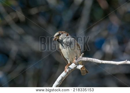 Beautiful little sparrow bird in natural background .Generally sparrows are small plump brown-grey birds with short tails and stubby powerful beaks.