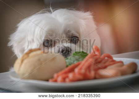 Cute white dog Maltese sitting on a chair at the table and begging for food like sausage which is on a plate.