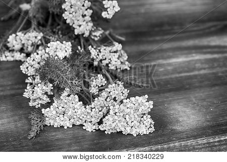 Yarrow flowers on dark wooden background. Black and white