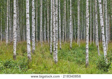 Finnish landscape with birch forest. Finland nature wilderness. Horizontal