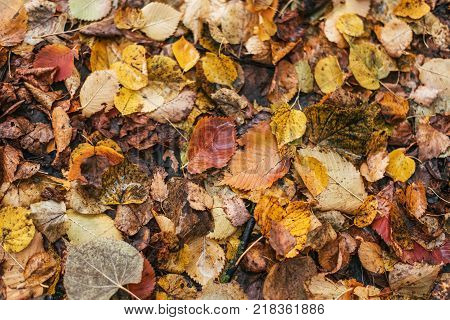 A close-up of foliage. Multicolored wet leaves after a rain. Autumn milking. Drops of water on the leaves. Beautiful background of leaves on ground.