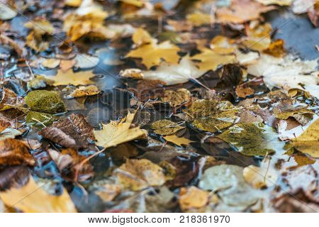 Multicolored wet leaves after rain. Autumn milking. In puddle foliage is wet. Beautiful background of leaves ground. Brown orange foliage.