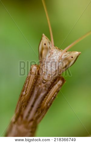 Mantis's specimen ( Apteromantis wingless ) posing with a terrifying appearance