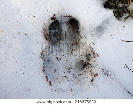 Wild boar track in the snow , (Sus scrofa)