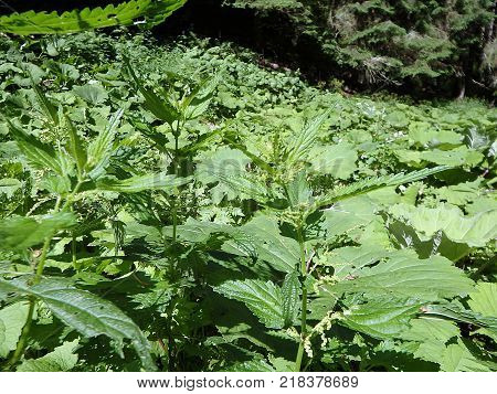 Stinging nettles - green leaves with serrated margin , (Urtica dioica) , Green natural background