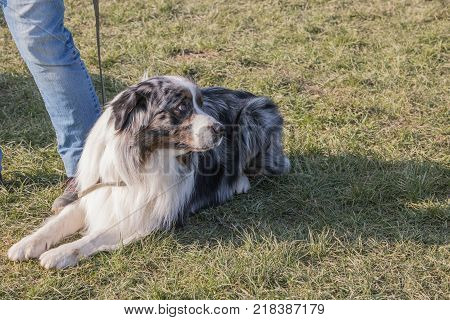 australian shepherd outdoor portrait at work in belgium nature