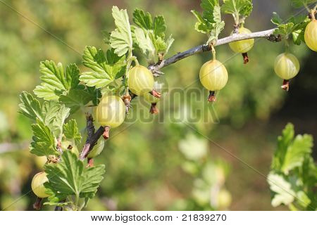 Color photo of gooseberries on a branch