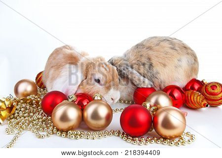 Christmas animals. Rabbit pet lop dwarf dutch wo colored orange bunny rabbits celebrate christmas with red gold christmas bauble ornaments on isolated white studio background. Cute animals. Pets christmas.