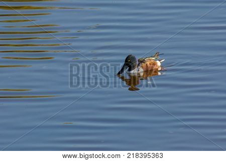 Northern shoveler (Anas clypeata) or shoveller can be recognised on its spatulate bill. It is a common and widespread duck. It breeds in northern areas of Europe and Asia and across most of North America.