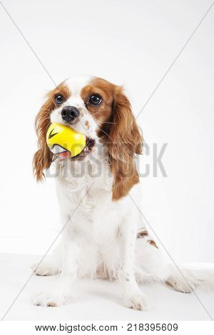 Dog with ball toy Cavalier king charles spaniel dog photo. Beautiful cute cavalier puppy dog on isolated white studio background. Trained pet photos for every concept. Cute.