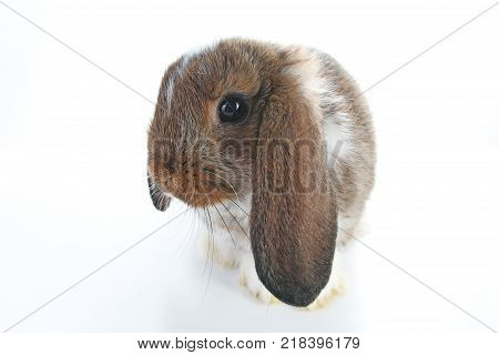 Agouti pet rabbit. Lop eared brown and white agouti bunny. Rabbits. Cute animal photos on isolated white studio background. Pets.