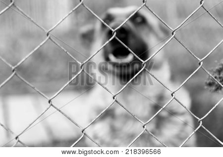 Wired fence, barking German Shepherd in the background in black and white.