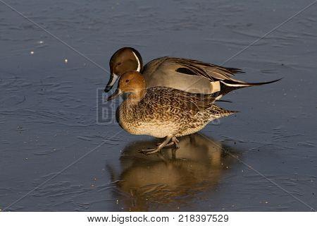 Pair of Pintail Ducks (Anas acuta) on Ice United Kingdom
