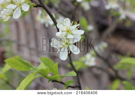 White cherry flowers on branch. Cherry tree blossom. Cherry tree with flowers in garden.