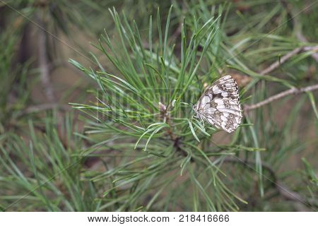 marbled white butterfly on succulent young sprig of pine