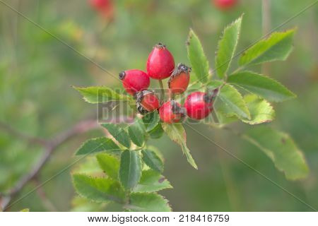 picturesque bunch of dog rose with ripe bright red oblong berries