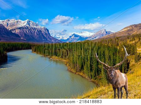 Magnificent deer on the bank of Abraham Lake. Indian Summer in the Rockies of Canada. Concept of ecological and active tourism