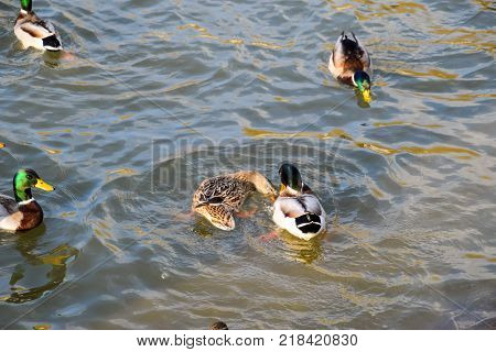 Ducks swimming in the pond. Wild mallard duck. Drakes and females.