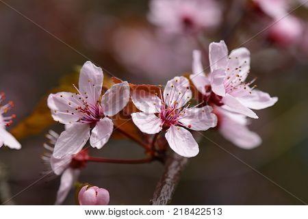 Pink cherry plum flowers in spring closeup