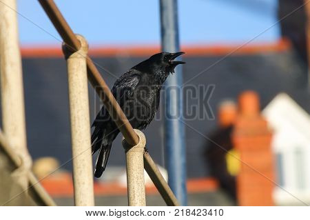 A Carrion Crow calling from railings in an urban town