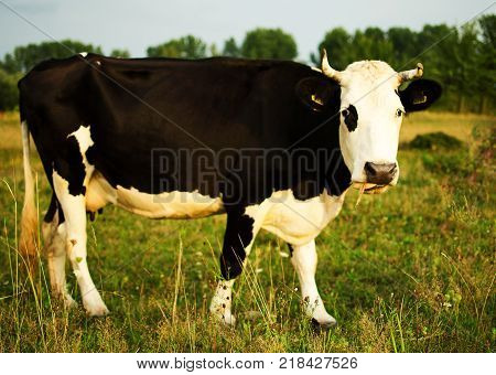 A Large Cow Pases On A Meadow Of Clean Grass