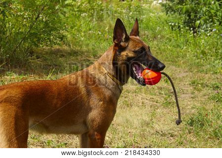 Dog Playing With A Red Ball. Cropped shot of a dog playing with a red ball. Malinois Dog playing. Close-up portrait of a Malinois dog playing chew toys in the park.