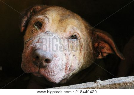 Very sick rescued dog hidden in the dark. Animal shelter, waiting for adoption, Pitbull with skin condition