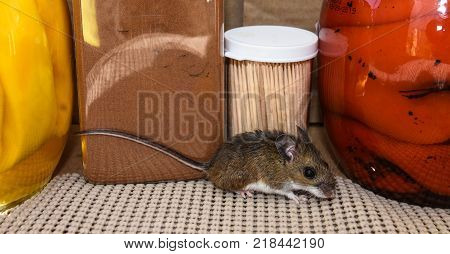 Side view of a wild brown house mouse, Mus musculus, in a kitchen cabinet in front of food.
