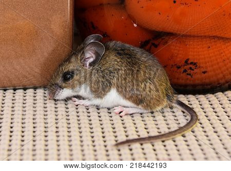 Side view of a brown house mouse, Mus musculus, in a kitchen cabinet in front of jars of food.