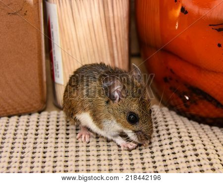 A side view of a brown house mouse, Mus musculus, in a kitchen cabinet with food products in the background.