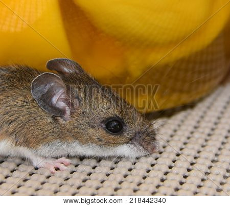 A head shot of a house mouse, Mus musculus, in a kitchen cabinet in front of a jar of sliced mangos.