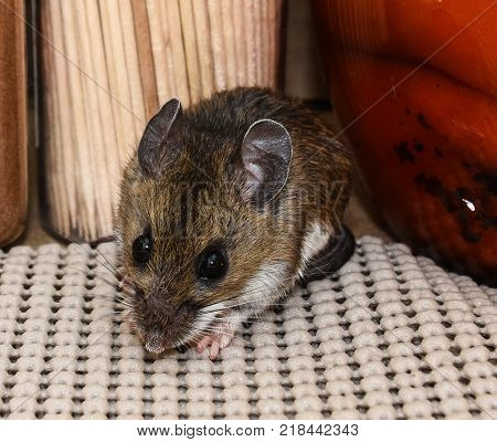 Close up view of a brown house mouse, Mus musculus, in a kitchen cabinet with food in the background.